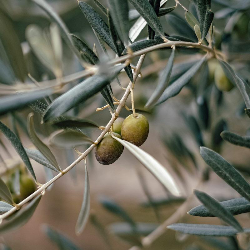 Oliven als Vitamin E Träger