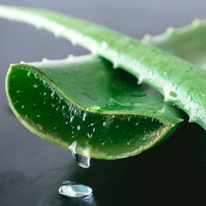 Aloe Pflanze.